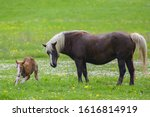 Horse With Newborn Foal On The...