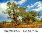 An Old Olive Tree In Greece ...