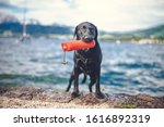 Portrait Of An Black Labradort...