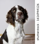 Small photo of Portrait image of a young English Springer Spaniel (unedited)