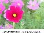 cosmos flower in flower field.... | Shutterstock . vector #1617009616