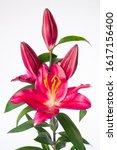 Small photo of Lilium Oriental Grp Bombastic - bulb flower