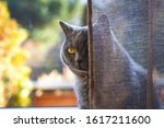 Domestic Cat Behind The Curtain ...