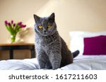 British Shorthair Cat Sitting...