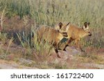 otocyon megalotis  bat eared... | Shutterstock . vector #161722400