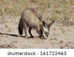 otocyon megalotis  bat eared... | Shutterstock . vector #161722463