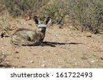 otocyon megalotis  bat eared... | Shutterstock . vector #161722493