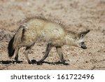 otocyon megalotis  bat eared... | Shutterstock . vector #161722496
