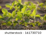 young soybean plants viewed at... | Shutterstock . vector #161730710
