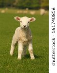 Stock photo curious little lamb 161740856