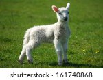 Young Lamb On Green Meadow