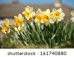 Detail Of Yellow Daffodils