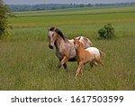 Appaloosa Horse  Mare With Foa...