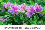 azalea in bloom. | Shutterstock . vector #161762930