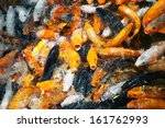 hungry kois in a pond. | Shutterstock . vector #161762993