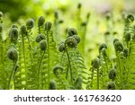 photo of green fern growing in... | Shutterstock . vector #161763620