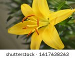 Yellow Lily Cultivated In A...