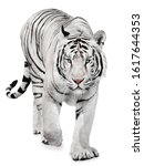 Strong White Tiger Walking ...