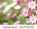 cosmos flower with bees in... | Shutterstock . vector #1617751933