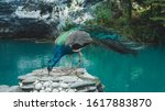 Peacock Sits On A Stone Near A...