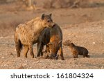 A Small Group Of Spotted Hyena...