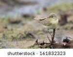 willow warbler standing on dead ... | Shutterstock . vector #161832323