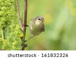 willow warbler holding onto... | Shutterstock . vector #161832326