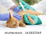 Stock photo  little cat on the table veterrinary giving vaccine 161832569
