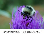 The Bumblebee Collects Pollen...