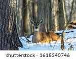 Deer. The White Tailed Deer ...