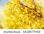 Closeup Of Blooming Forsythia...