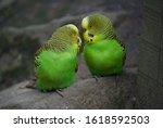 2 Green Budgerigars Looking At...