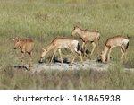 hartebeest  alcelaphus... | Shutterstock . vector #161865938