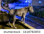 Pitbull bluenose on a beautiful night