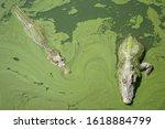 Two Crocodiles In The Green...