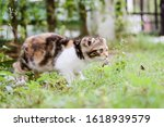 Scottish Fold Cat Are Playing...