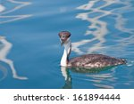 Small photo of Western Grebe (Aechmophorus occidentalis) in calm water in Ventura, California