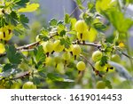 Small photo of Fresh green gooseberries. Green berries close-up on a gooseberry branch. Young gooseberries in the orchard on a shrub. Gooseberries in the orchard.