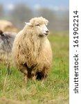 sheep herd in field | Shutterstock . vector #161902214