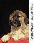 Anatolian Shepherd Dog Or Coban ...