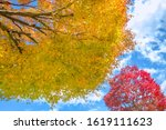 japanese maples  red and yellow ... | Shutterstock . vector #1619111623