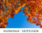 japanese maples  red and yellow ... | Shutterstock . vector #1619111626