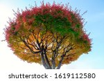 japanese maples  red and yellow ... | Shutterstock . vector #1619112580