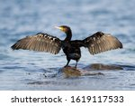 Great Cormorant The Great...