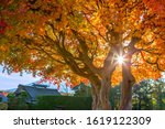 japanese maples in the... | Shutterstock . vector #1619122309