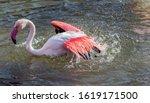 Caribbean Pink Flamingo...