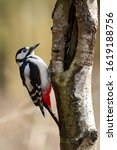 Great Spotted Woodpecker The...