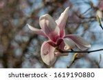 Close Up Of Magnolia Blossoms...