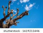 cherry tree has been cut ... | Shutterstock . vector #1619211646