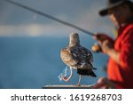 Seagull Caught In A Fishing...